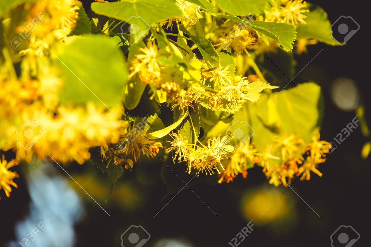 Flowering linden tree with beautiful yellow flowers. Medicinal plant - 153248526