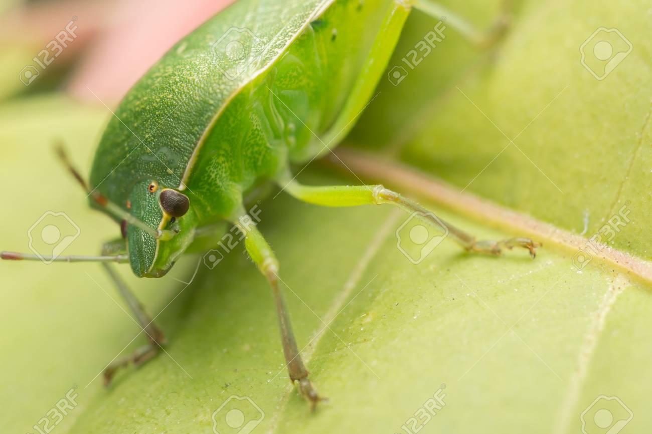 Macro Photo Of A Green Shield Bug Stock Photo - 17992248