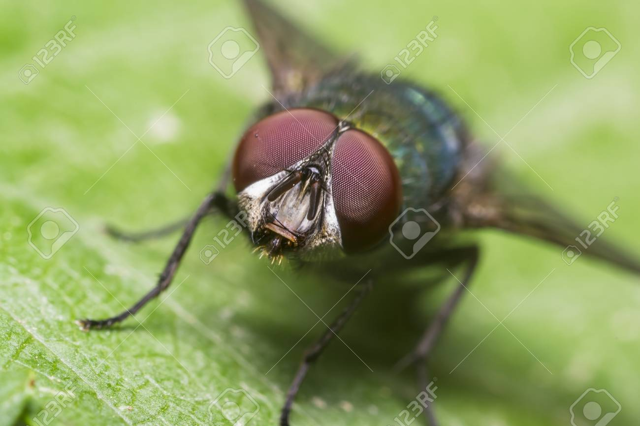 The housefly  Musca domestica Stock Photo - 18312080