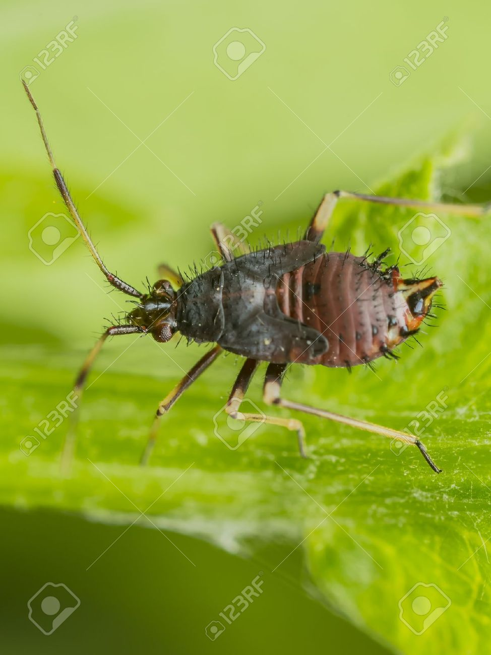 Springtail Insect On A Green Leaf Springtails Collembola form