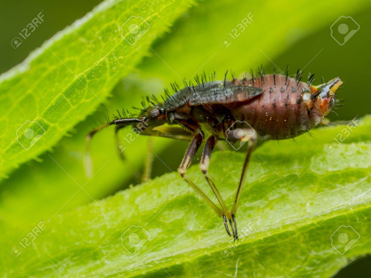 Springtail Insect On A Green Leaf  Springtails  Collembola  form the largest of the three lineages of modern hexapods that are no longer considered insects  the other two are the Protura and Diplura Stock Photo - 18366952
