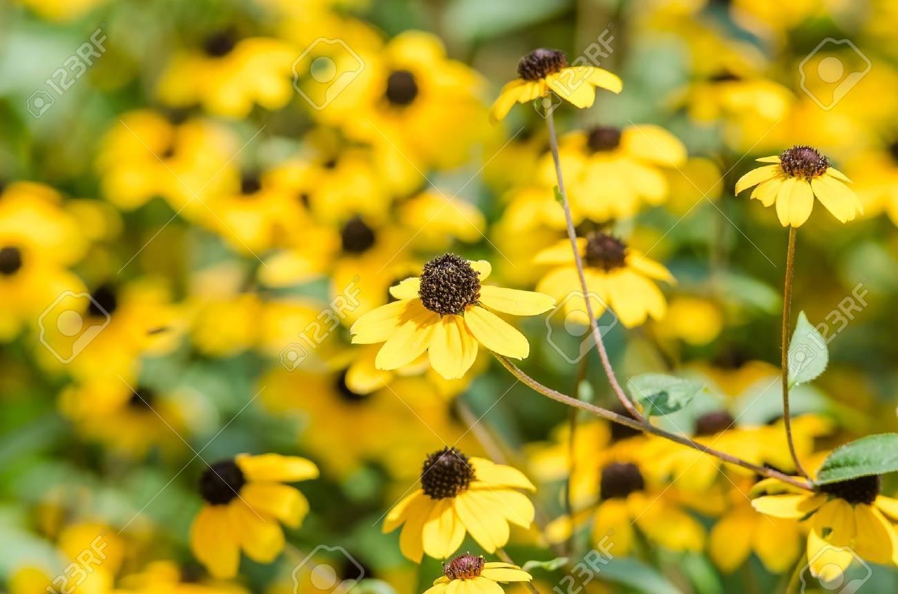 Yellow Flowers Rudbeckia Hirta Or Black Eyed Susan Stock Photo