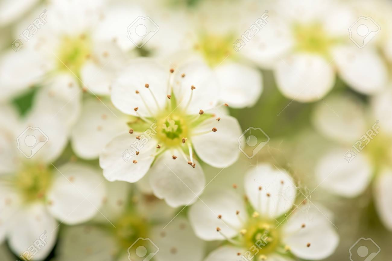 Small White Flowers Blossom In Spring Garden Stock Photo Picture