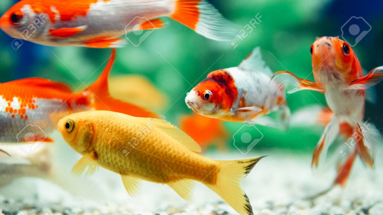 Yellow And Red Goldfish Swimming In Aquarium Stock Photo, Picture ...