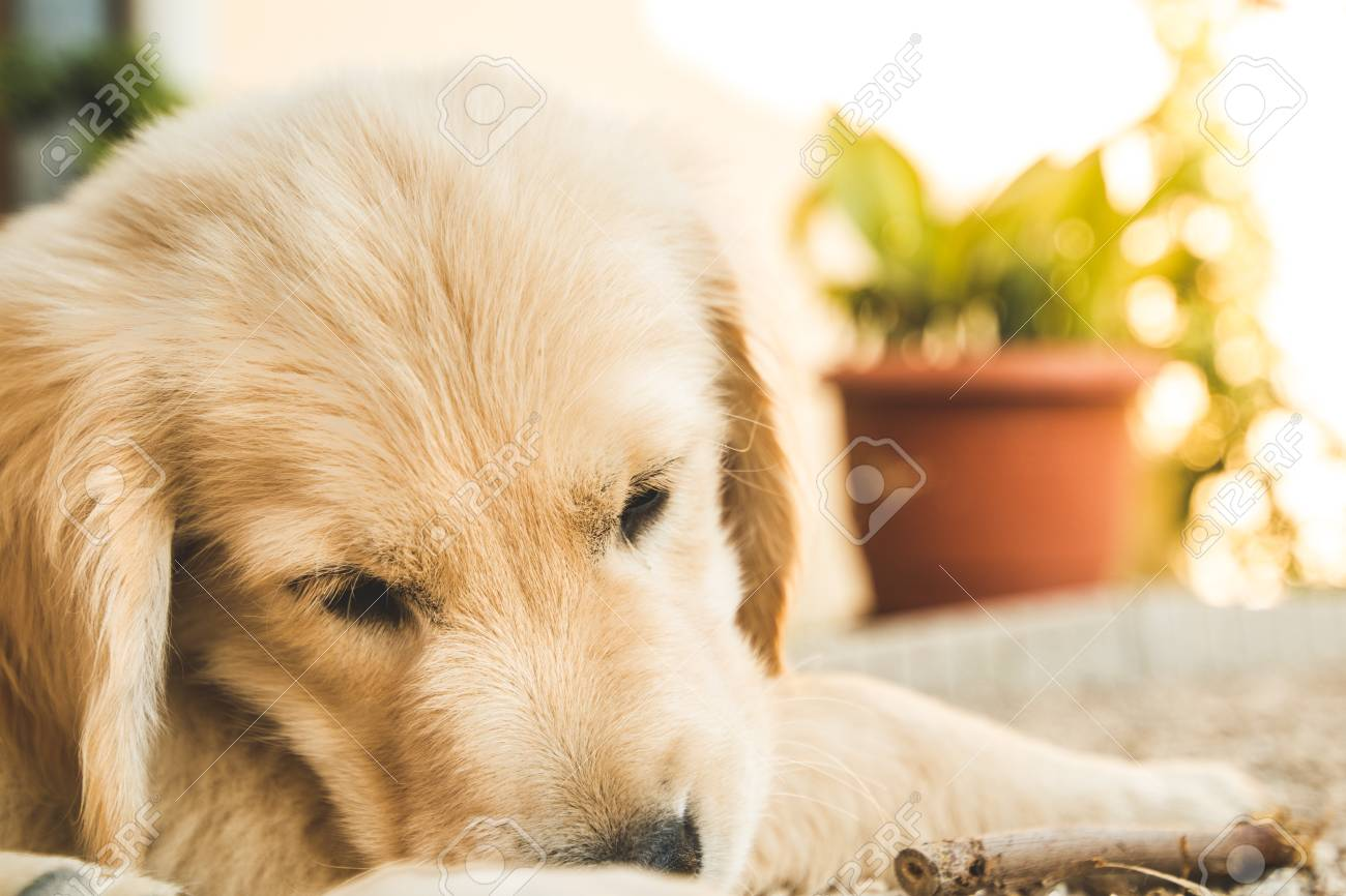 Portrait Of A Puppy Golden Retriever Picture Of An Adorable Puppy