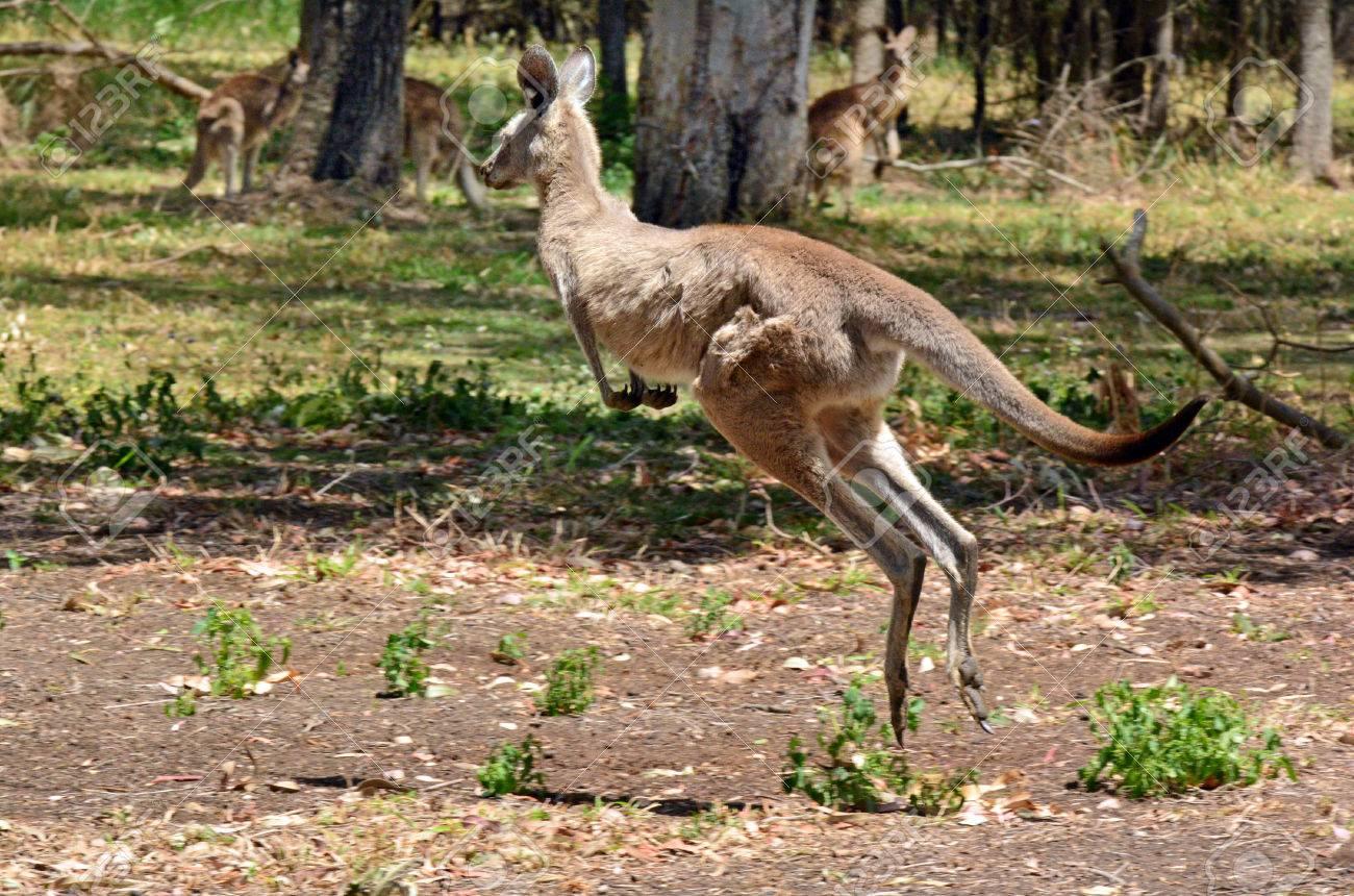 Картинки по запросу kangaroo jumps
