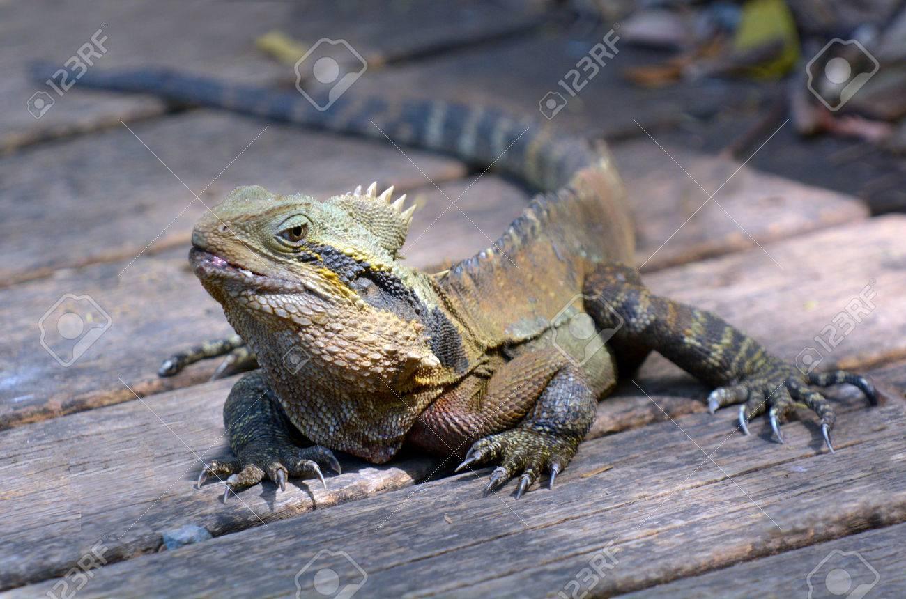 Bearded Dragon Mon Eastern Lizard Pogona
