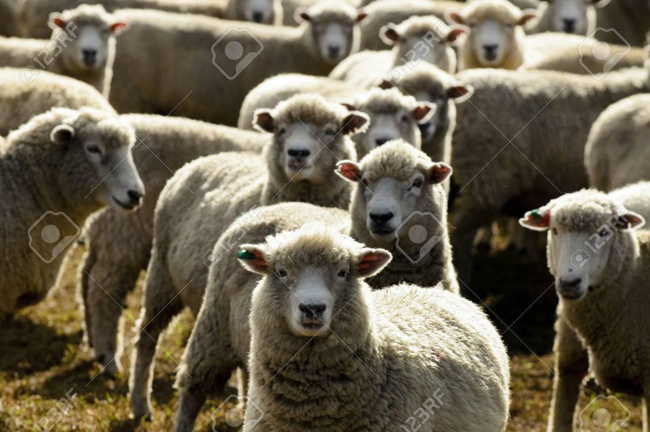 Flock of sheep, New Zealand. - 41698711