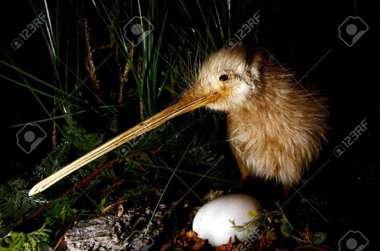 Kiwi bird and an egg in New Zealand. - 46574972