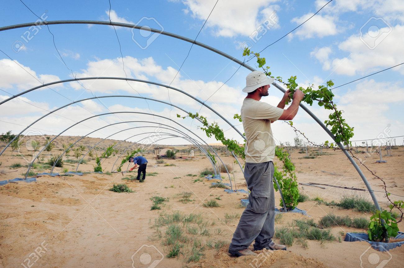 Désert Du Negev - 6 Avril: Un Agriculteur Israélien Lors De L'agriculture Du Désert Le 06 Avril 2011 Dans Le Néguev, Israel.Israel Est Un Grand Exportateur De Produits Frais Et Un Chef