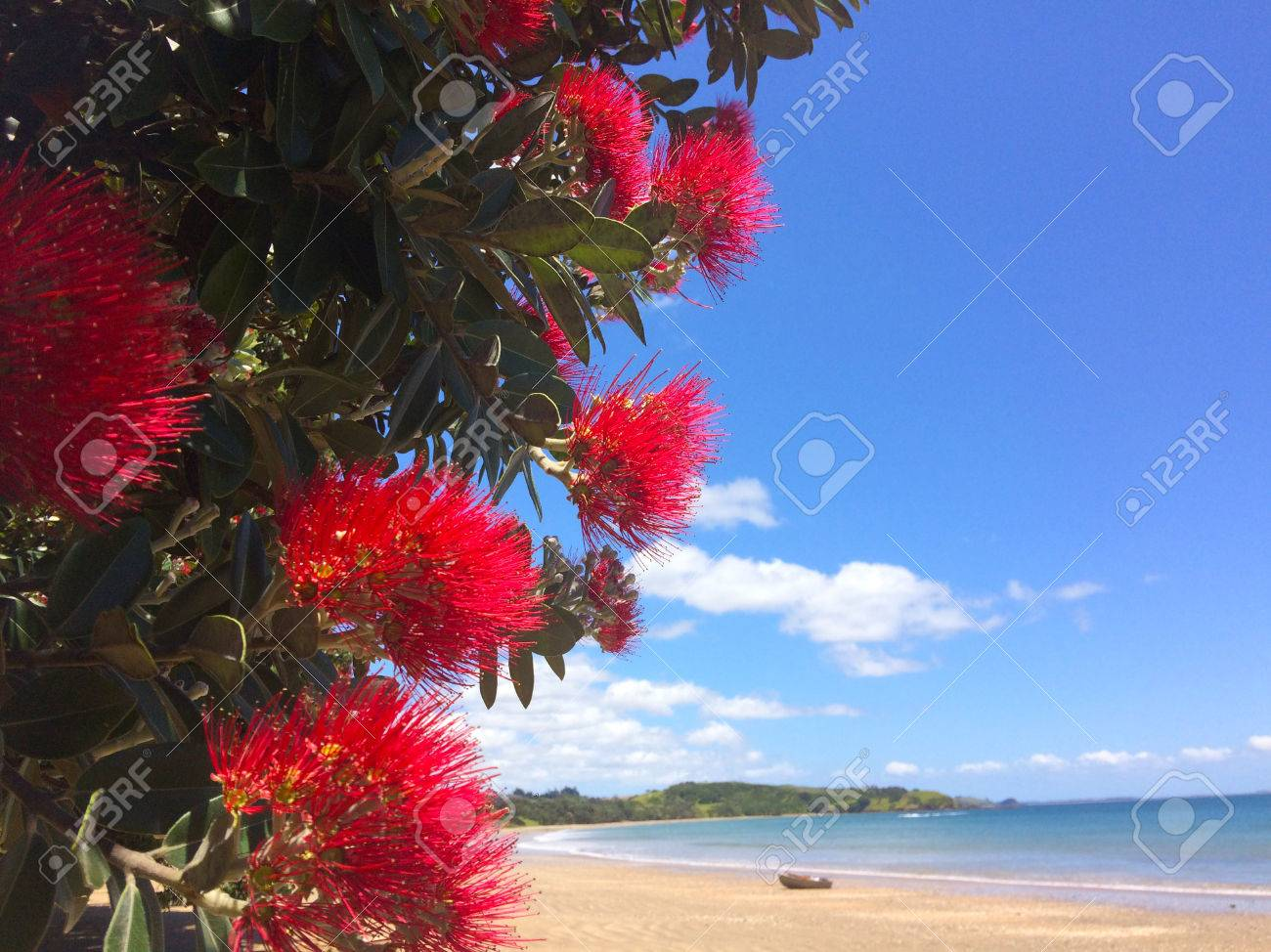Pohutukawa red flowers blossom on the month of December over a sandy beach with a small fishing boat doubtless bay New Zealand. - 49925421