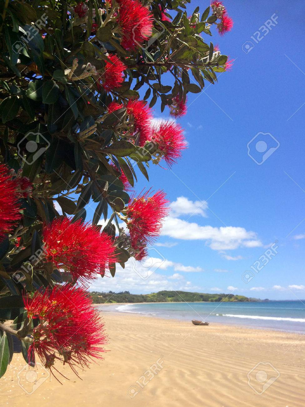 Pohutukawa red flowers blossom on the month of December over a sandy beach with a small fishing boat doubtless bay New Zealand. - 49925420