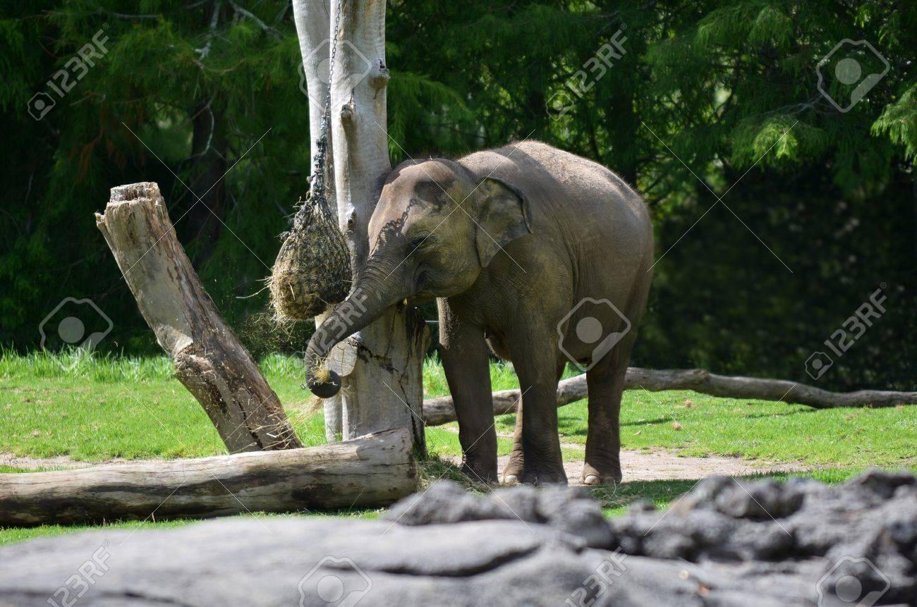 Young Asian Elephant Elephas Maximus Indicus Eat Food Elephants