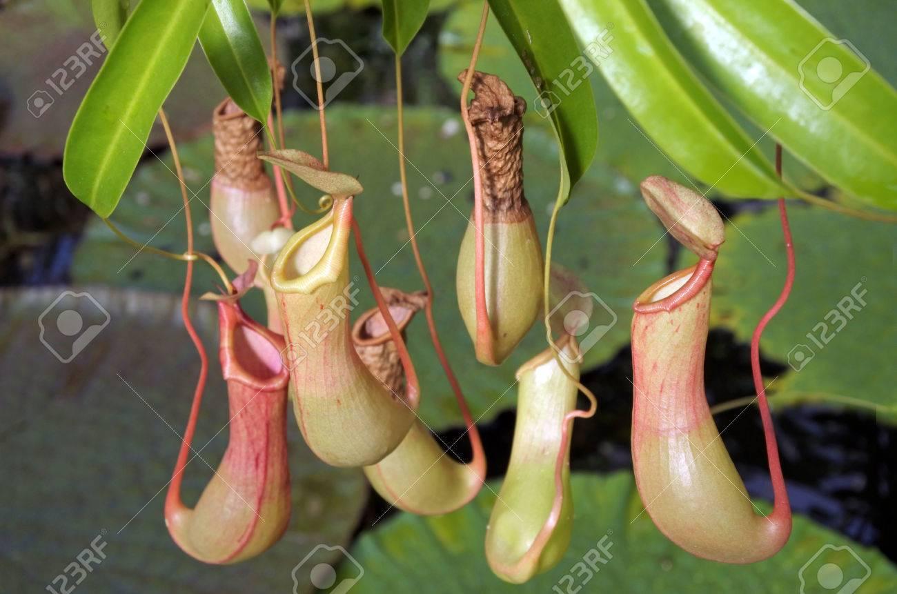 plante carnivore insecte