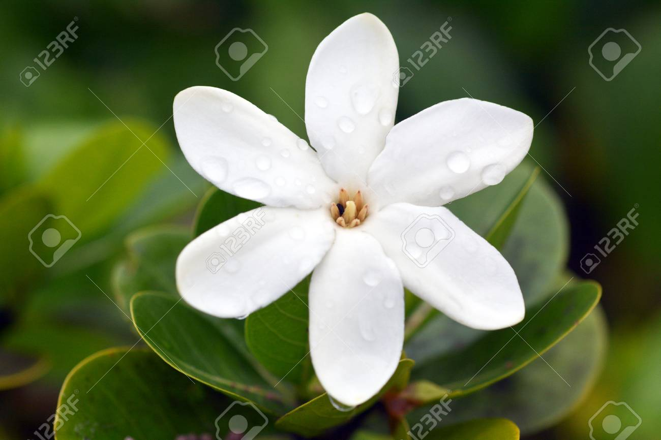 Tiare Maori, (Gardenia taitensis) grows in Rarotonga Island is the National Flower of the Cook Islands. Nature background. Copy space - 98086590