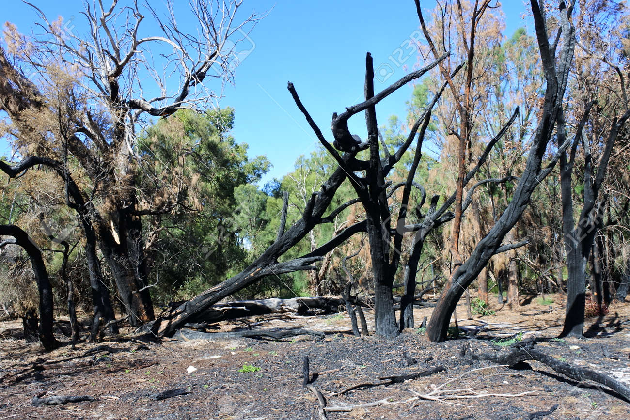 Burnt trees in Australian bush after controlled fire. - 168379469