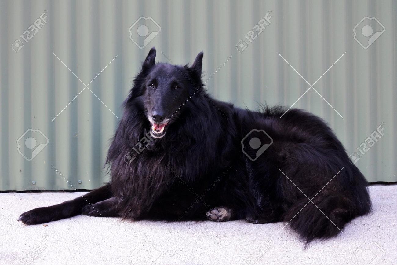 Groenendael Belgian Shepherd dog sitting on the ground against metal background looking at camera. - 168379631