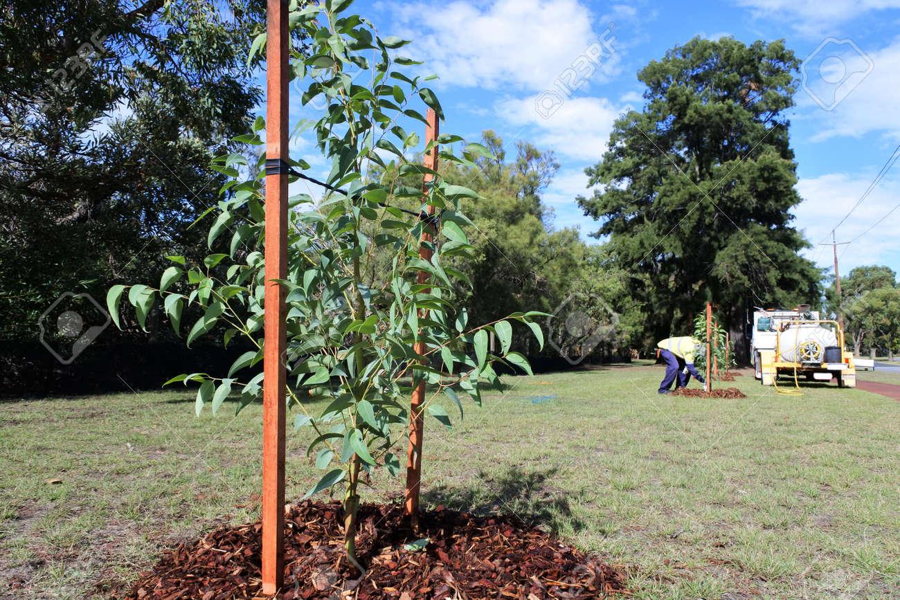 An unrecognizable city landscaper worker planting a new trees in a public park. - 169904554