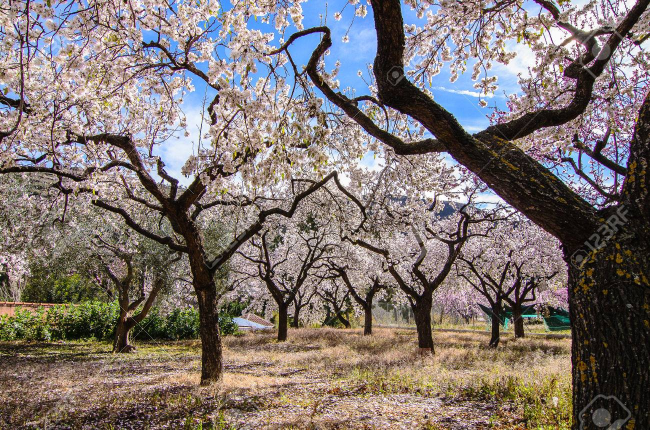 blue sky behind almond trees blooming stock photo picture and