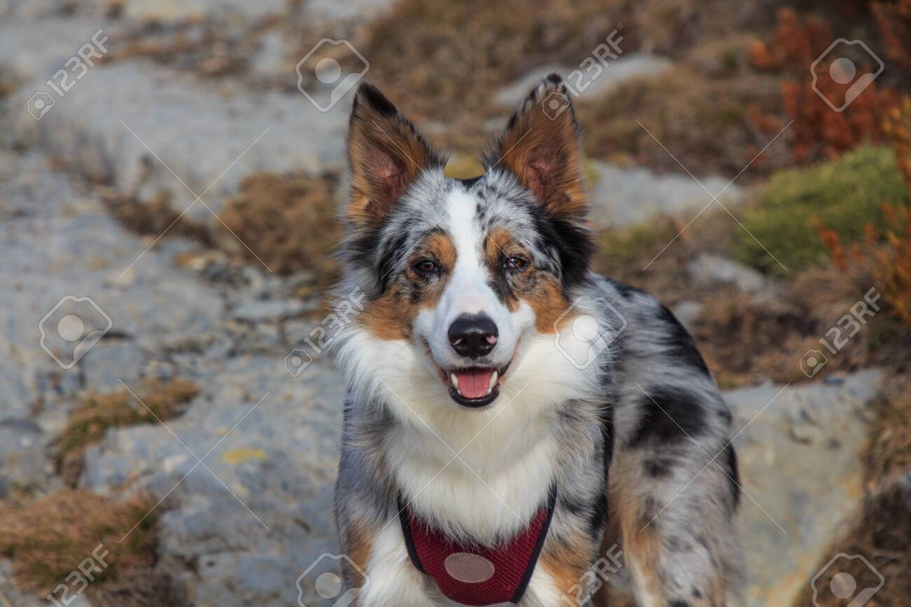 Close Up Of Tricolor Border Collie Dog In The Mountains Stock Photo Picture And Royalty Free Image Image 139557552