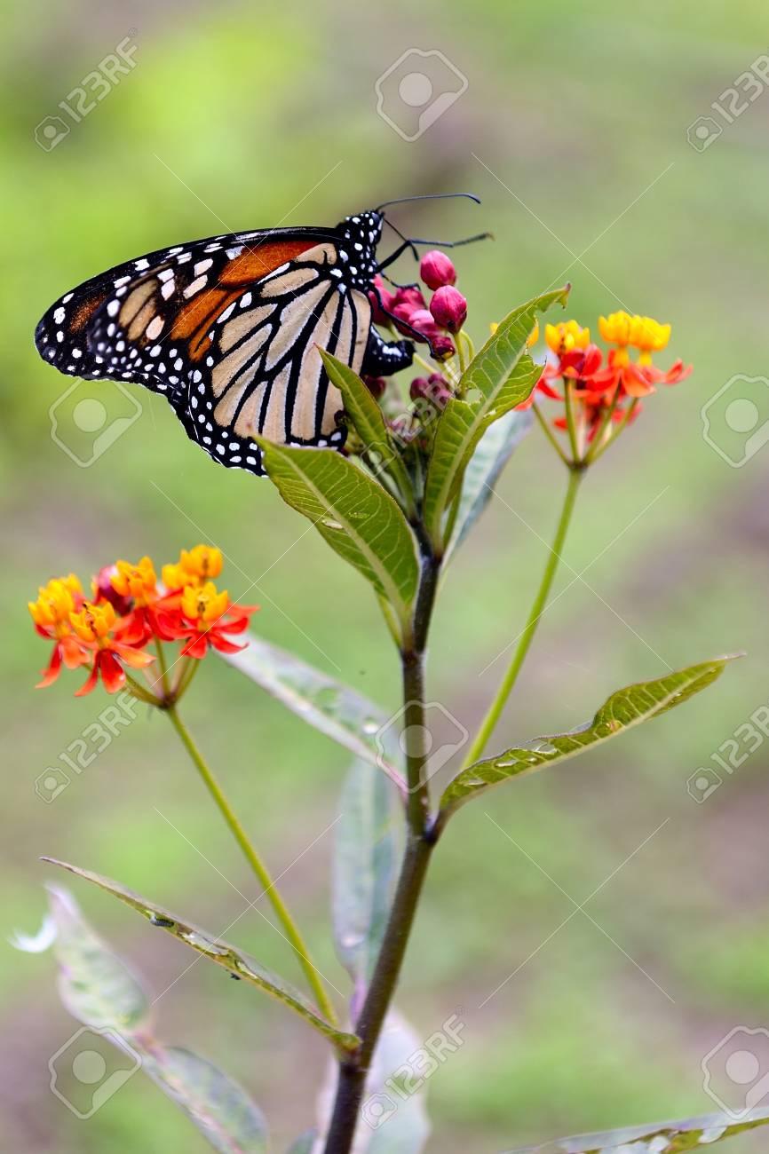 monarch butterfly - 28931039
