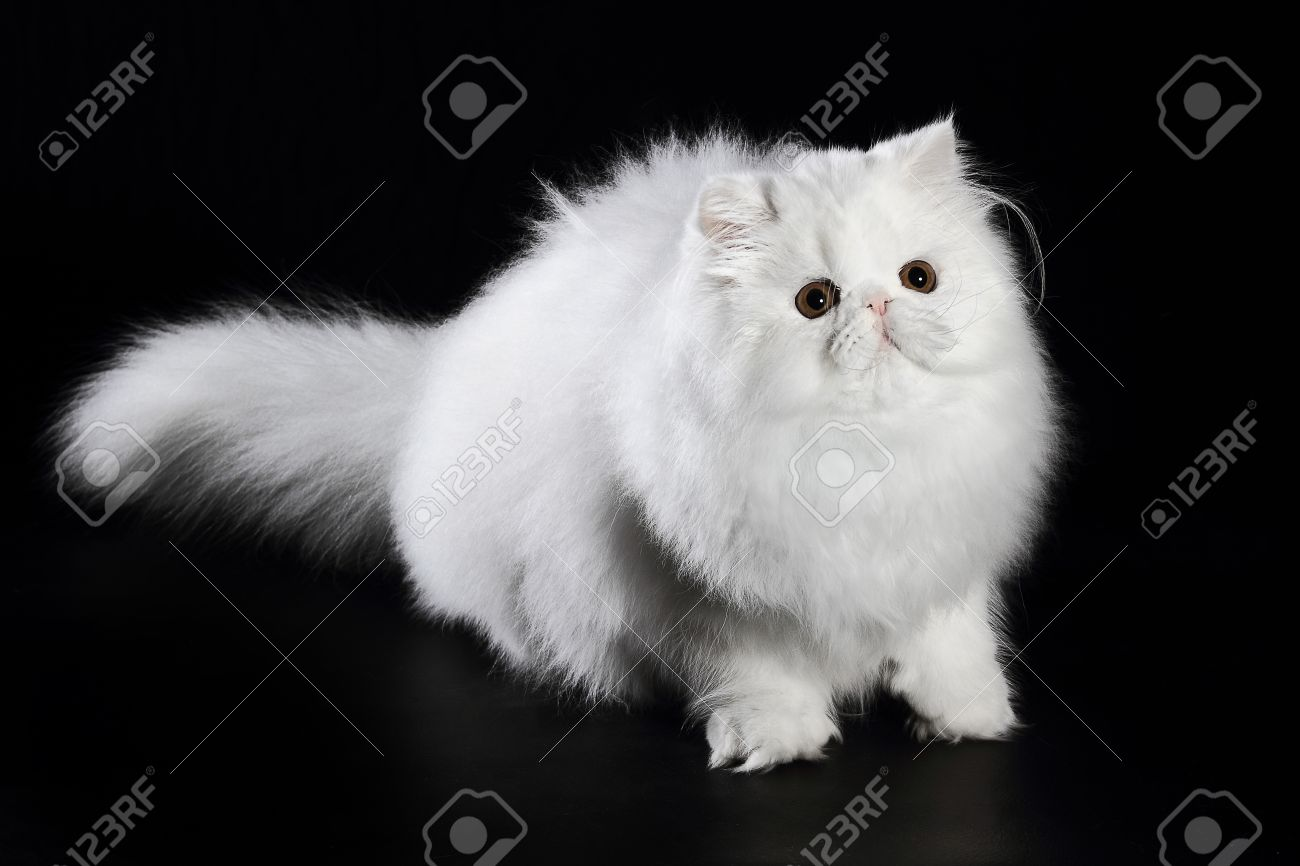 Young White Persian Cat With Orange Eyes Black Background Stock