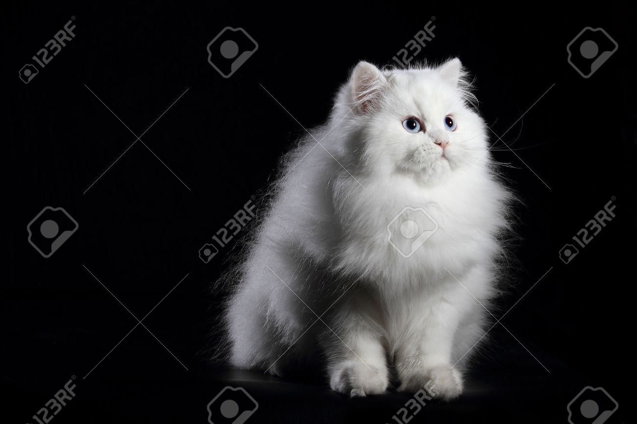 Young White Persian Cat With Blue Eyes On Black Background Stock Photo Picture And Royalty Free Image Image 45920010