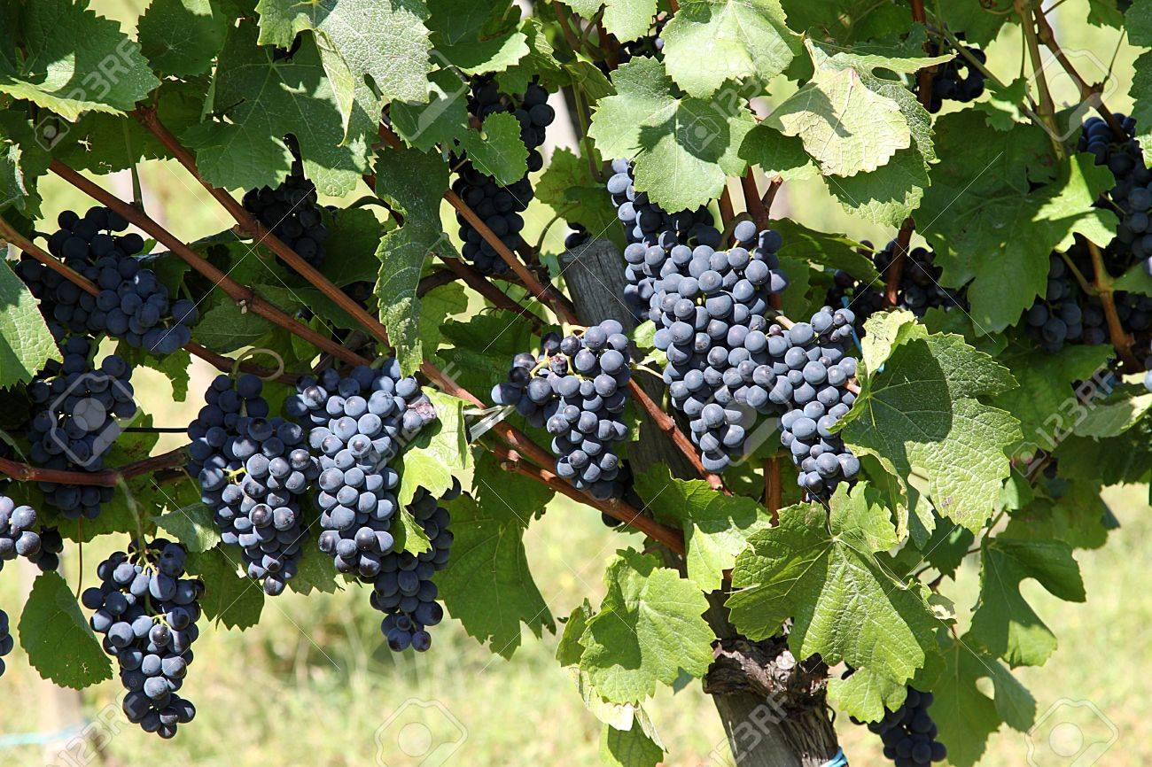 a bunch of grapes,the wine growing estate Stock Photo - 5453027