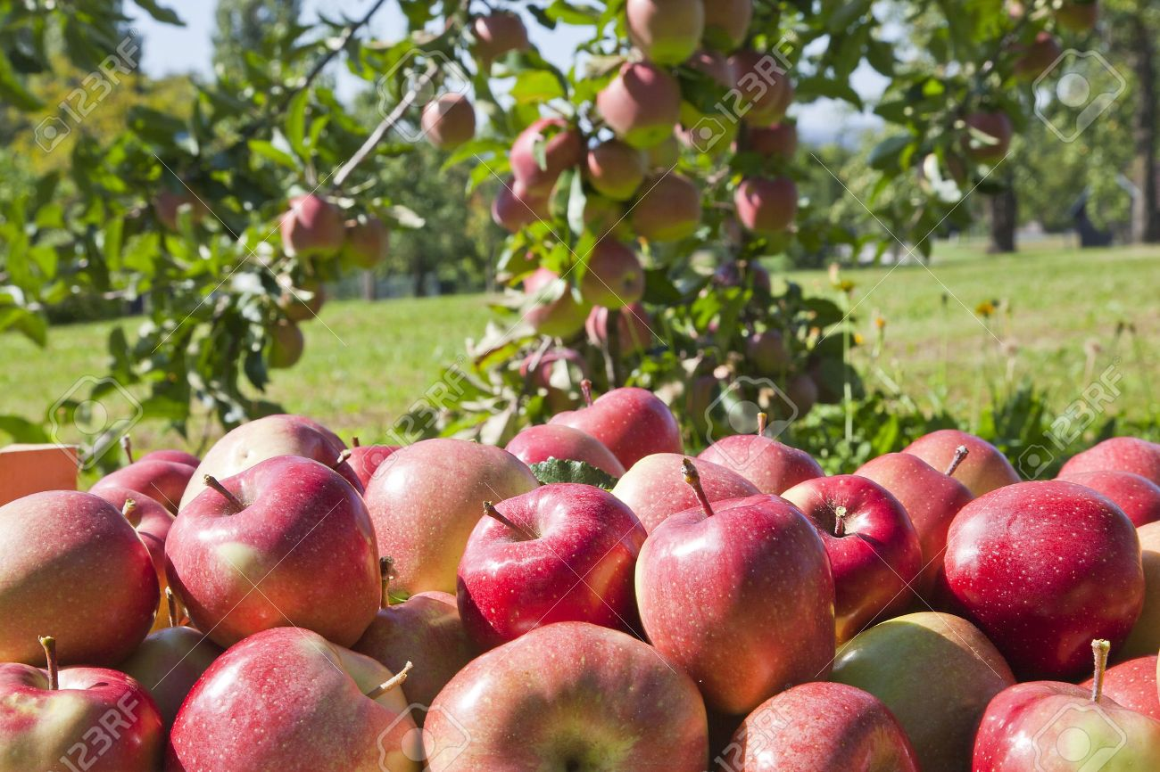 Fresh red apples in orchard Stock Photo - 10409576