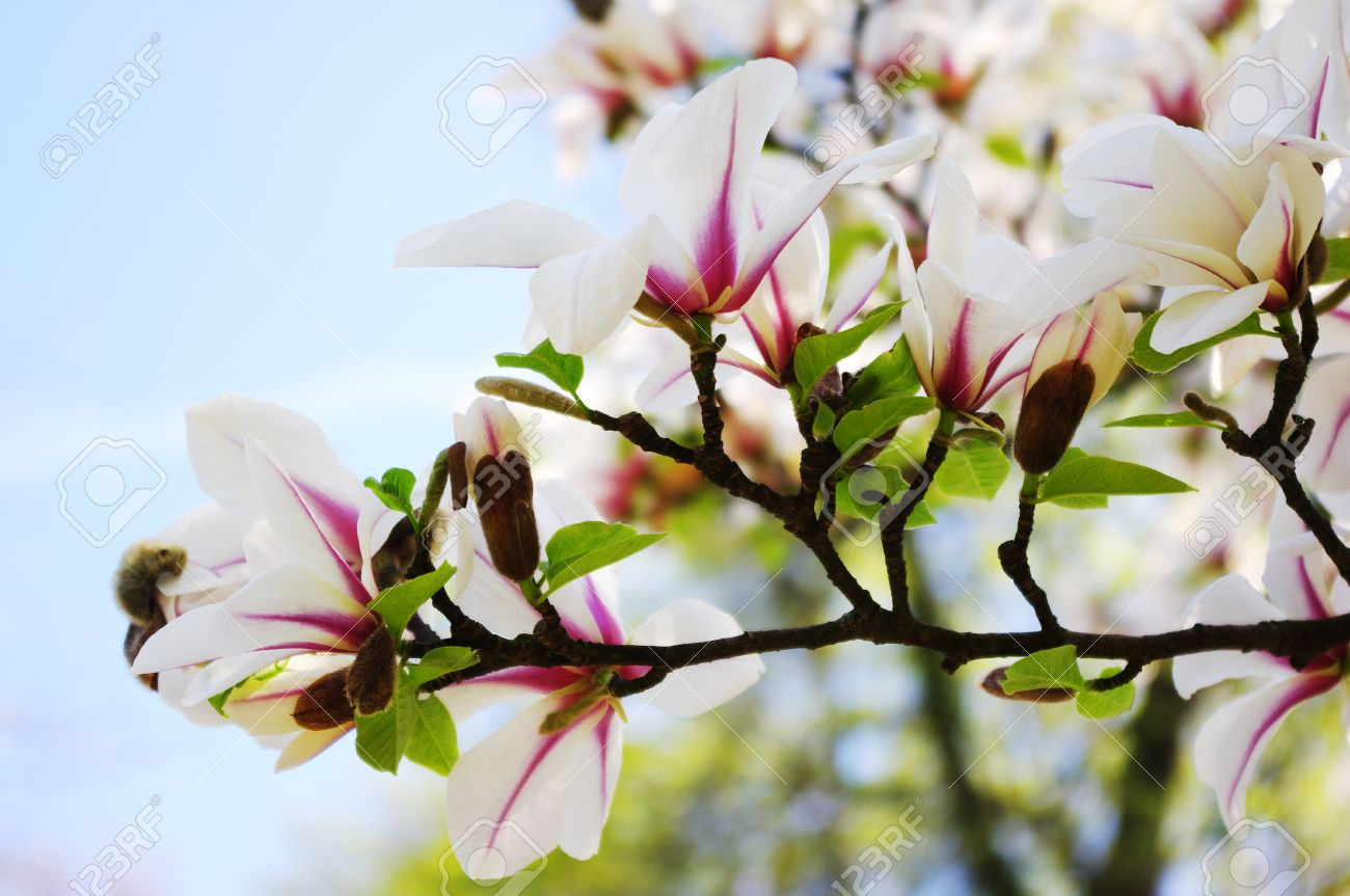 Pink And White Magnolia Flowers On Tree Branch Stock Photo Picture