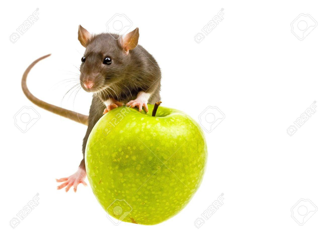 Funny rat and green apple isolated on white background Stock Photo - 4698841