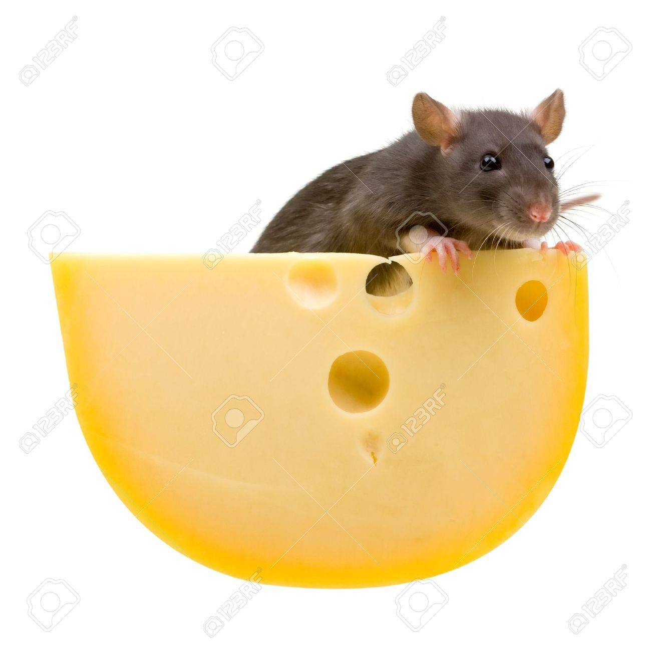 Funny rat and cheese isolated on white background Stock Photo - 4904415