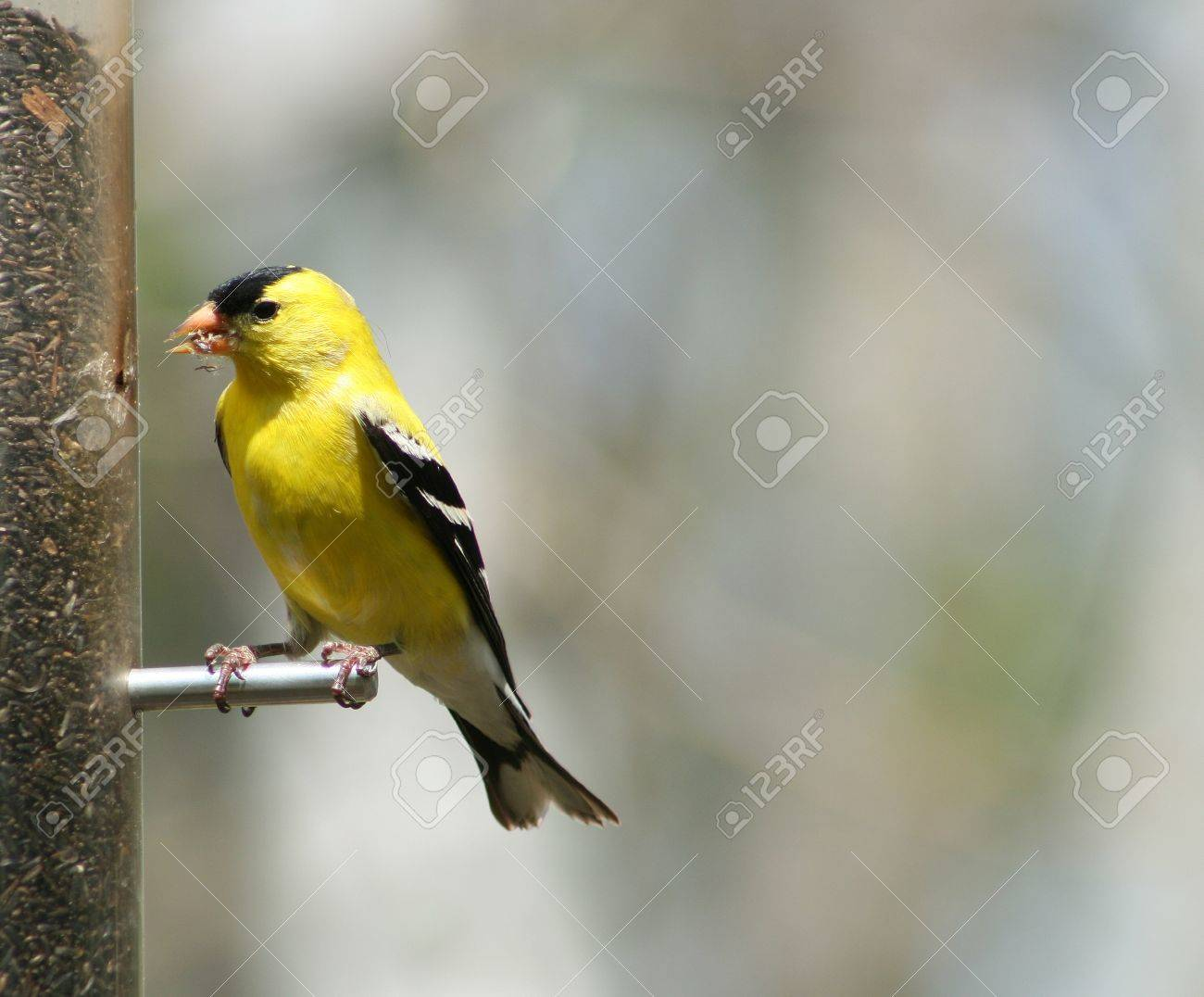 A male American Goldfinch perched on a bird feeder in spring