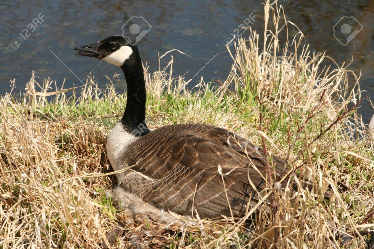 Canada Goose womens sale store - A Female Canada Goose Incubating A Nest Of Eggs In Spring In ...