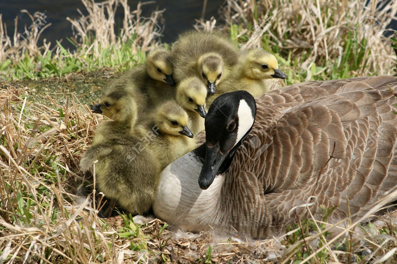 A Female Canada Goose With Six Goslings On A Nest Beside A Lake ...
