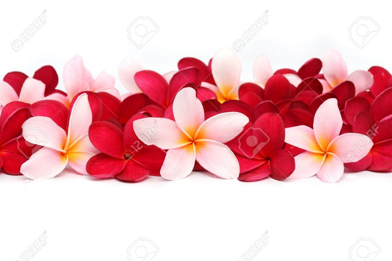 Pink and red Frangipani Plumeria flower Stock Photo - 11720868