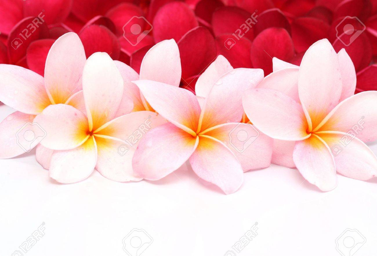 Pink and red frangipani plumeria flower stock photo picture and pink and red frangipani plumeria flower stock photo 11720870 mightylinksfo Choice Image