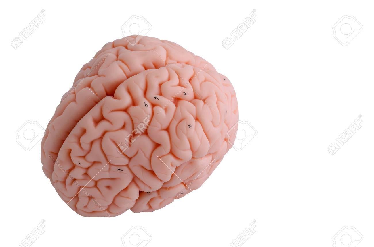 Charmant Anatomie Und Funktionen Des Gehirns Ideen - Anatomie Von ...