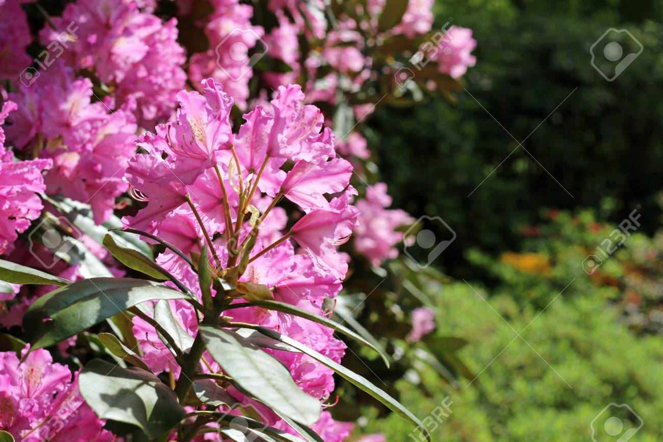 Flowering branch of rhododendron in the spring garden pink azalea flowering branch of rhododendron in the spring garden pink azalea flower rodendrona inflorescence on mightylinksfo