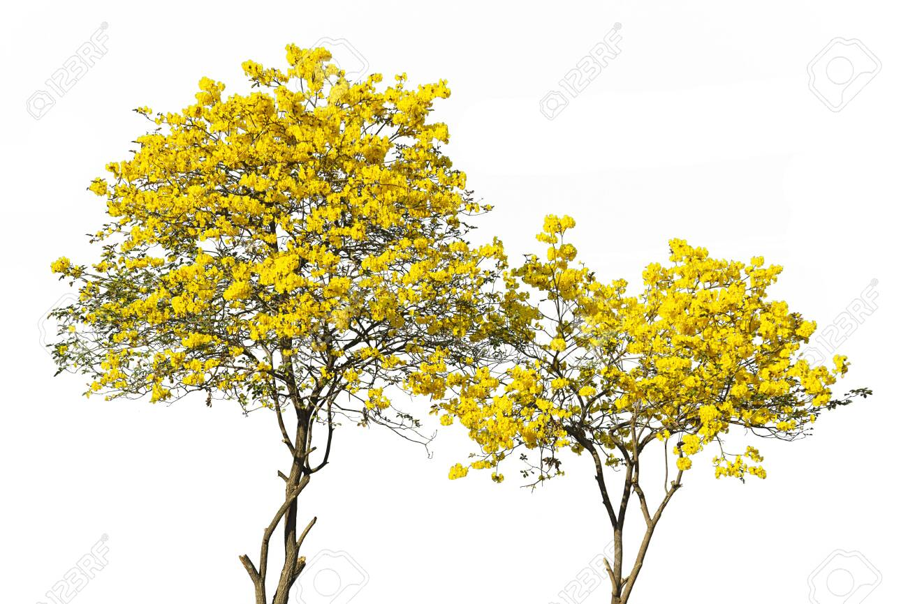 golden tree, yellow flowers tree, tabebuia isolated on white background. - 143279887
