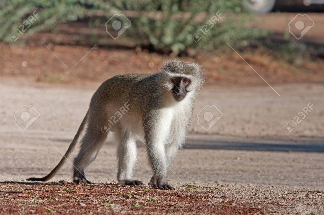 Monkey Walking Royalty Free Stock Photo - Image: 3714055