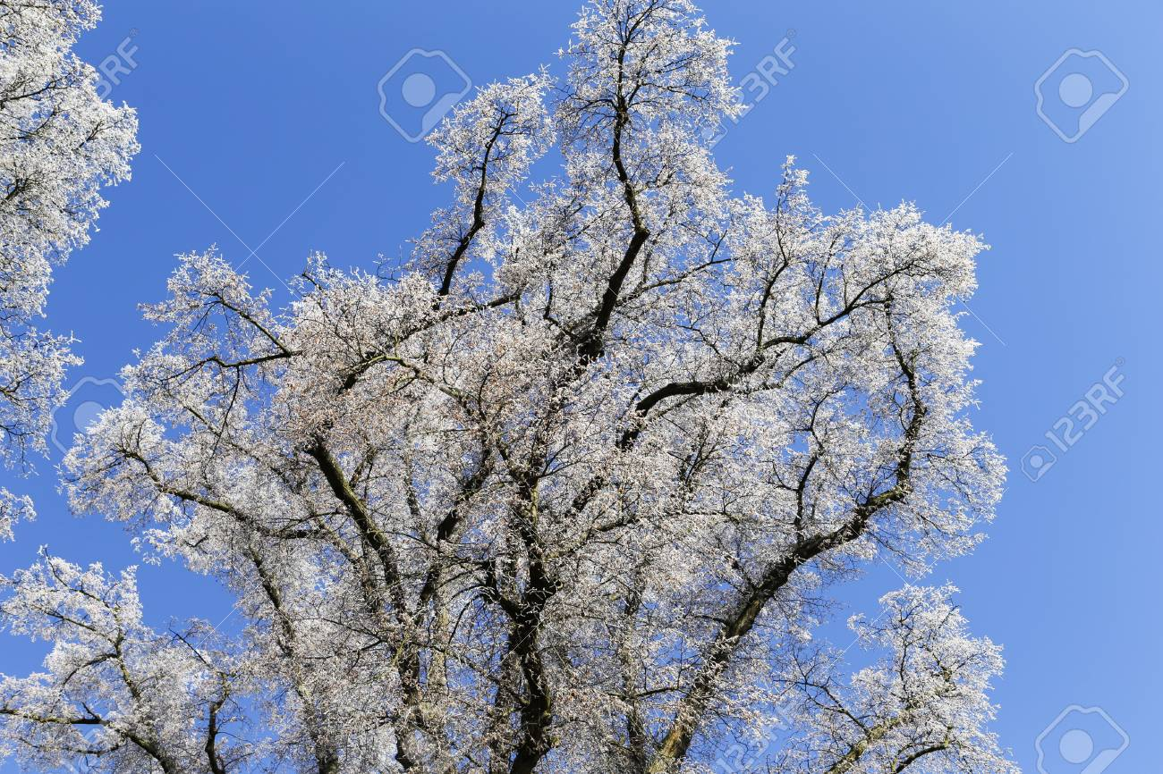 The photo shows a tree with hoarfrost in the sun with blue sky stock stock photo the photo shows a tree with hoarfrost in the sun with blue sky izmirmasajfo