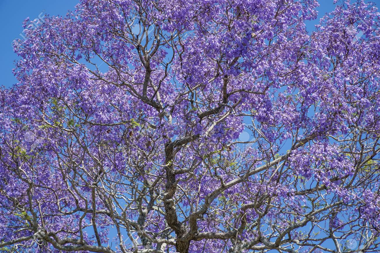 Looking up into the canopy of a flowering Jacaranda tree, covered