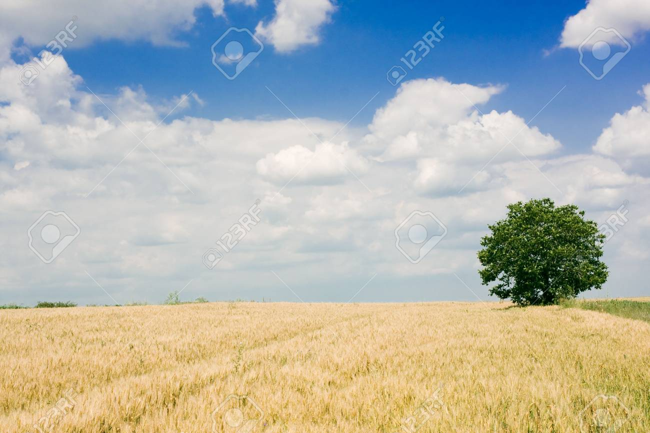 Wheat field and single tree landscape Stock Photo - 3851654