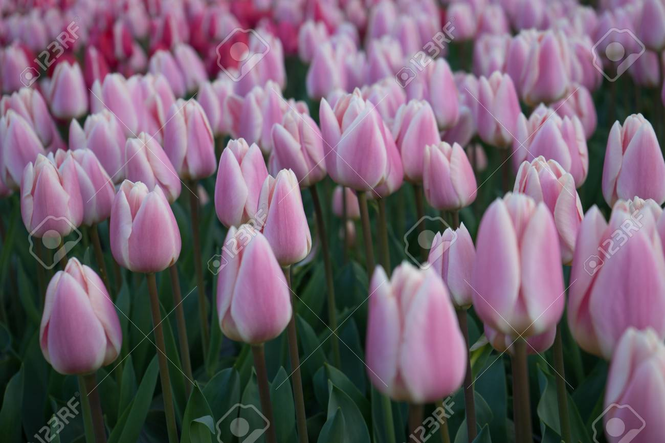 Pink And Rose Colored Tulip Flowers In A Garden With Fountain