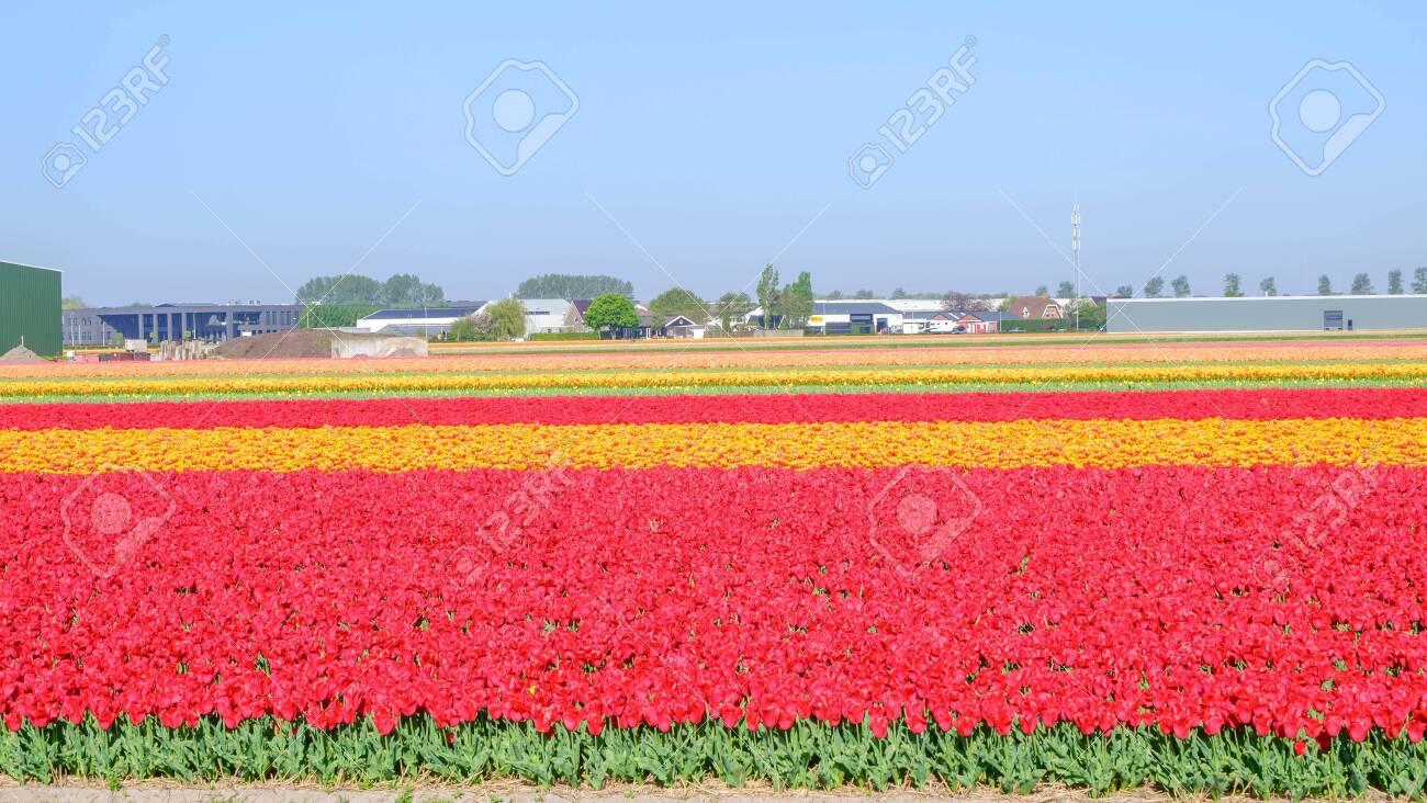 Blue sky and tulip field landscape, traditional dutch, Netherlands,