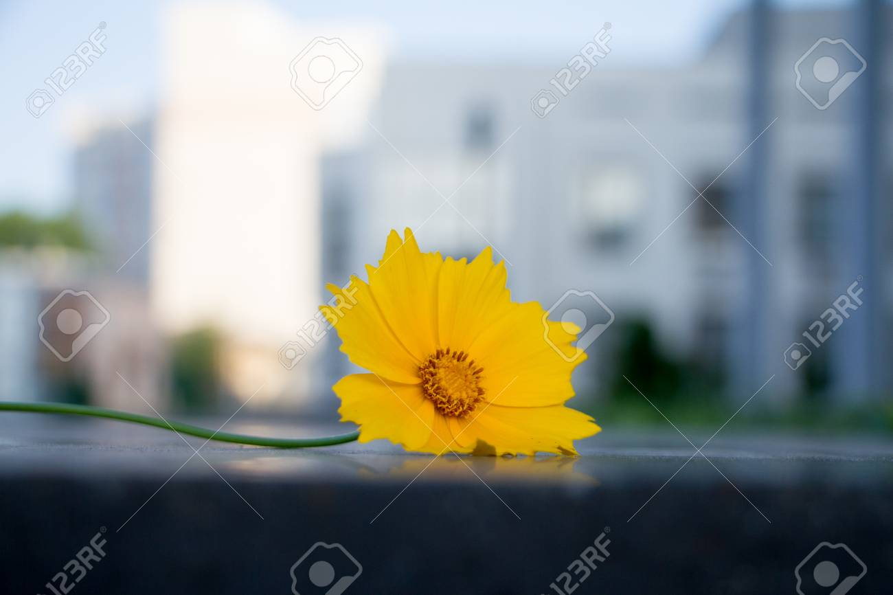 Beautiful yellow flower called cosmos sulphureus beautiful yellow flower called cosmos sulphureus stock photo 77197390 mightylinksfo