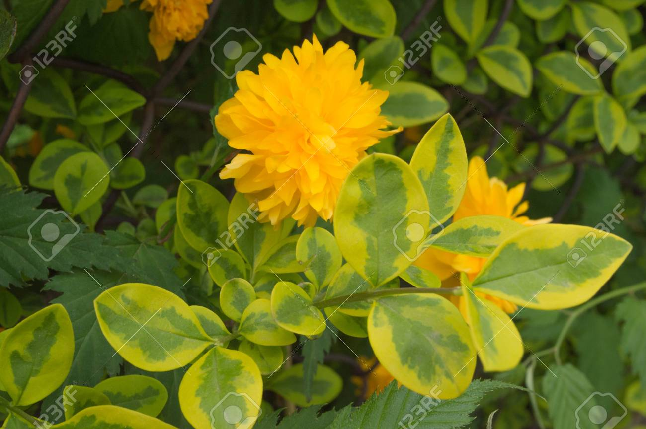 Big Yellow Flower With Green And Yellow Leaves In A Garden Stock
