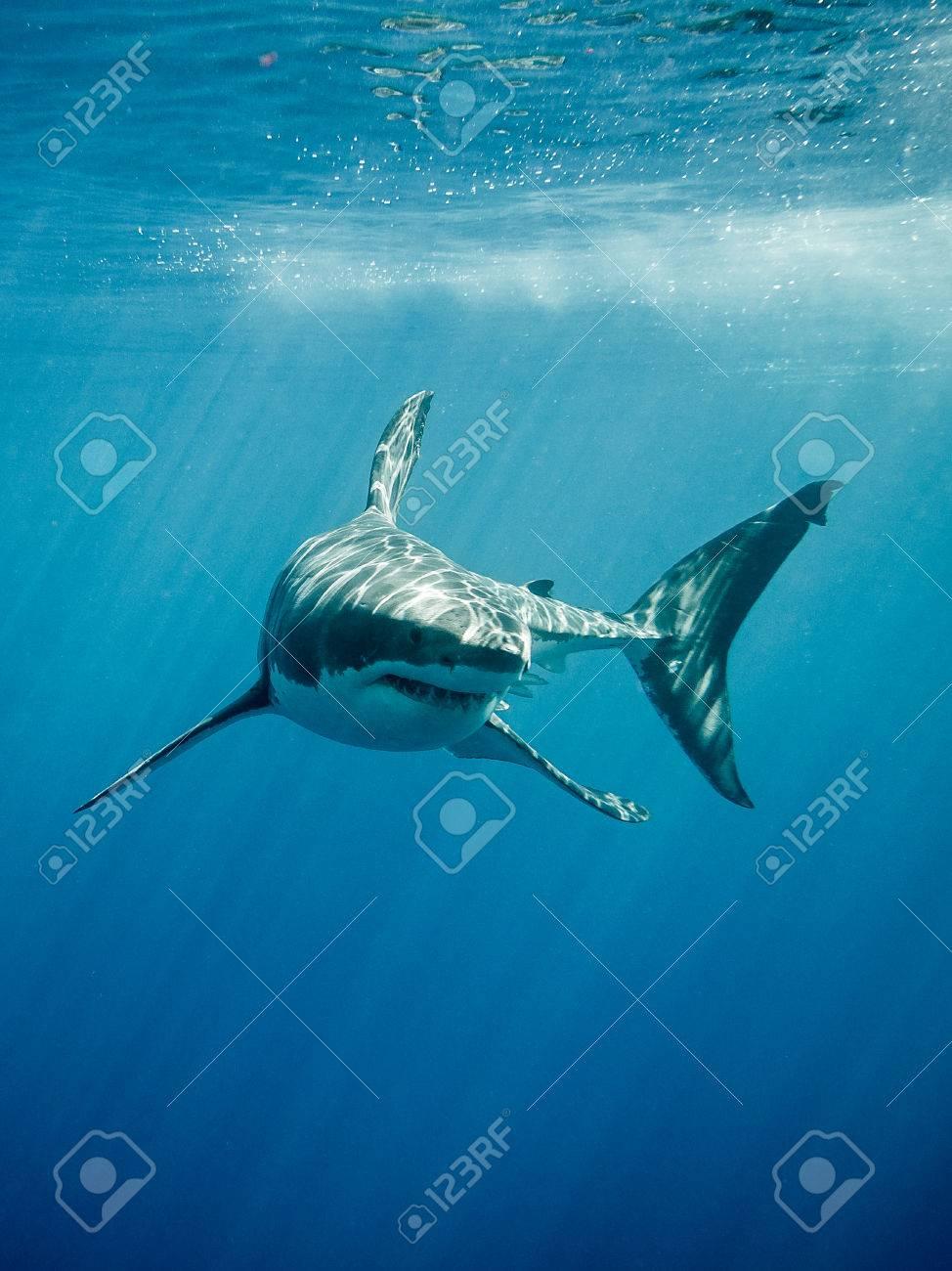 ホオジロザメは、メキシコのグア...