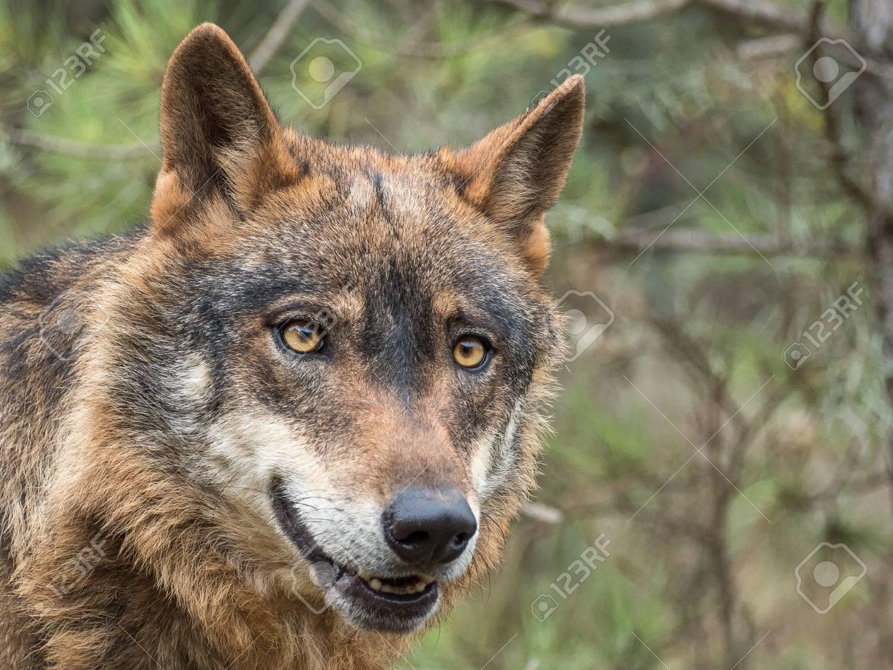 Retrato Del Lobo Ibérico Lindo Canis Lupus Signatus Con Los Ojos